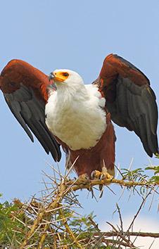 AFRICAN FISH-EAGLE TAKING FLIGHT