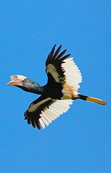 Black-and-White Casqued Hornbill