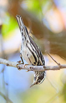 BLACK-AND-WHITE WARBLER BASIC