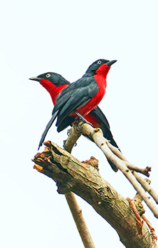 BLACK-HEADED GONOLEK PAIR