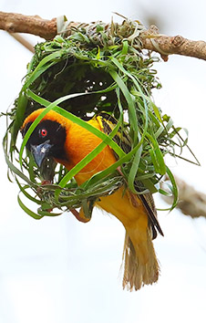 BLACK-HEADED WEAVER CONSTRUCTING NEST