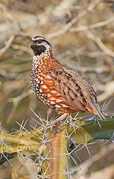 BLACK-THROATED YUCATAN BOBWHITE