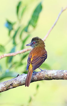 BRIGHT-RUMPED ATTILA SE MEXICO