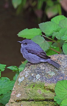 CASSIN'S GRAY FLYCATCHER
