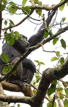 COMMON CHIMPANZEE FEMALE