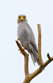 Gray Kestrel