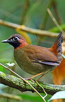 LACK-FACED MAYAN ANTTHRUSH