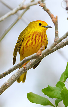YELLOW GOLDEN WARBLER